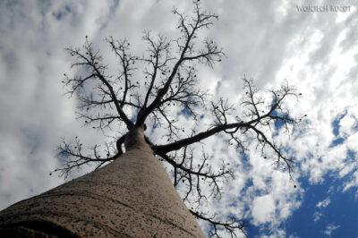 Ma18054-Baobab