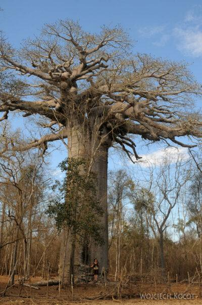 Ma18056-Baobab