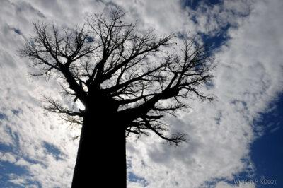 Ma18063-Baobab