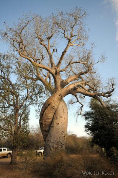 Ma18079-Baobaby skręcone razem