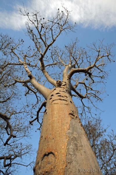 Ma18081-Baobab