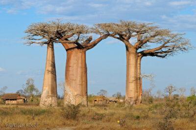 Ma18084-Baobaby