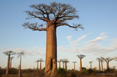 Ma18091-Baobaby