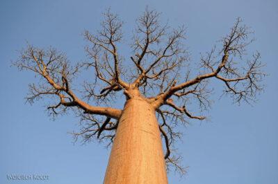 Ma18093-Baobab