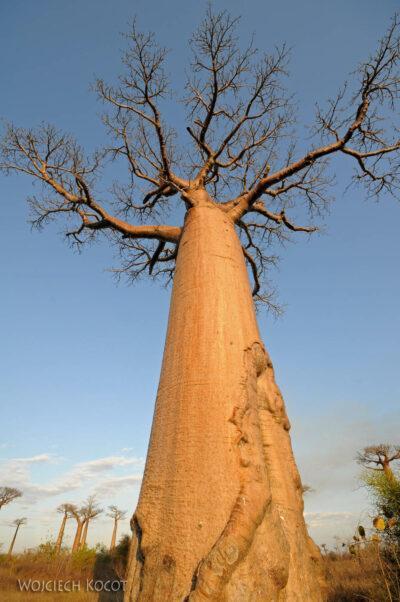 Ma18094-Baobab