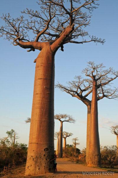 Ma18096-Baobaby