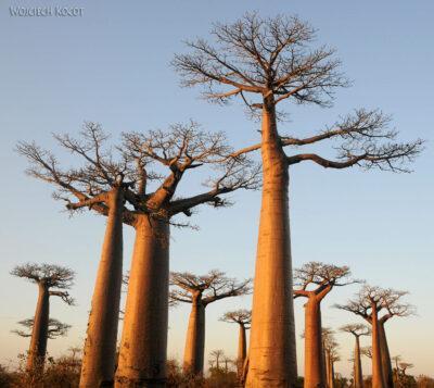 Ma18099-Baobaby