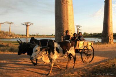 Ma18101-Baobaby iZebu-Wóz