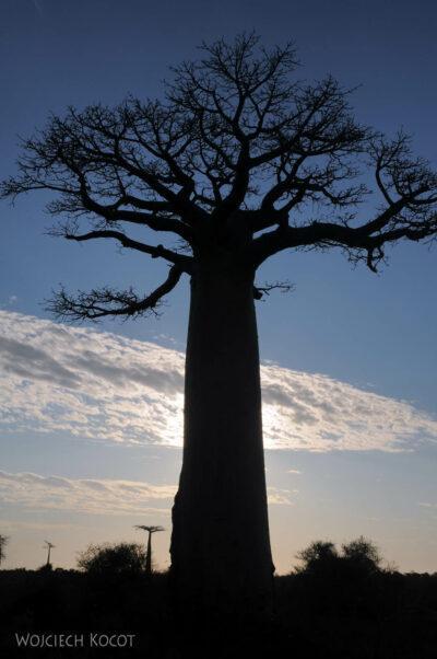 Ma18106-Baobab