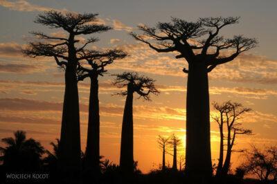 Ma18114-Baobaby ozachodzie słońca