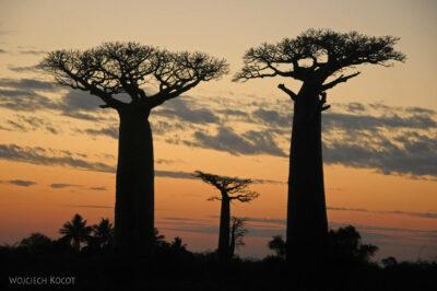 Ma18120-Baobaby ozachodzie słońca