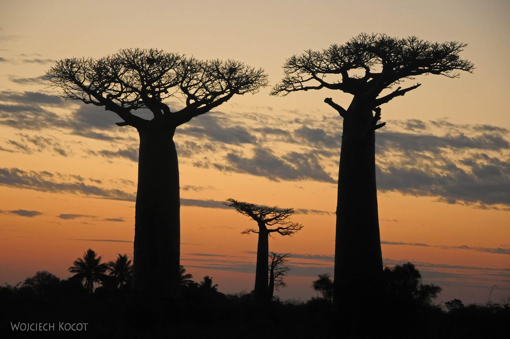 Ma18120-Baobaby o zachodzie słońca
