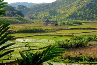 Ma26201-Pola ryżowe