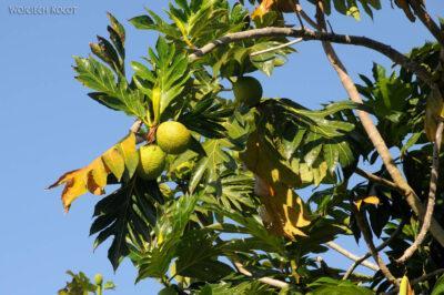 Ma28101-Drzewo iowoc