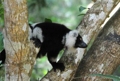 Ma05073-Lemur Wari