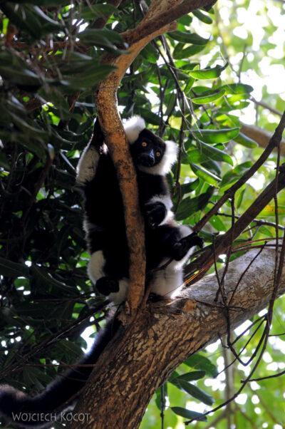 Ma05075-Lemur Wari