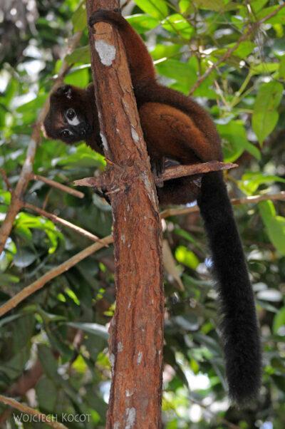 Ma05082-Lemur Czerwonobrzuchy