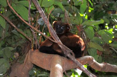 Ma05084-Lemur Czerwonobrzuchy