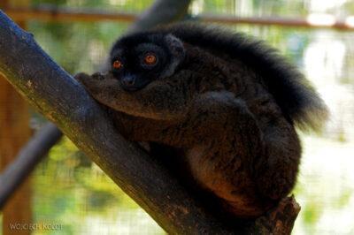 Ma05089-Lemur