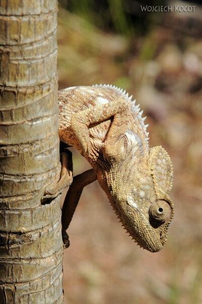 Ma11054-Kameleon