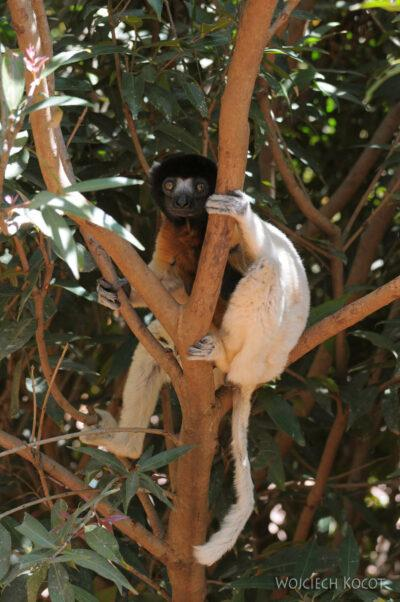 Ma11075-Lemur Sifaka