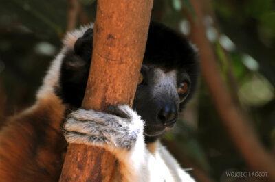 Ma11078-Lemur Sifaka