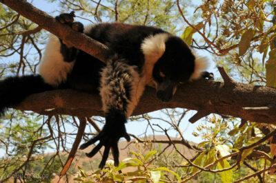 Ma11087-Lemur Wari
