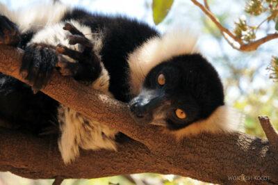 Ma11090-Lemur Wari