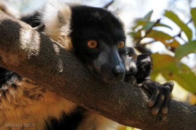 Ma11092-Lemur Wari