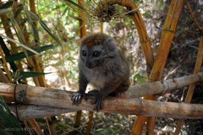 Ma11109-Lemur Maki Złoty (Bambusowy)