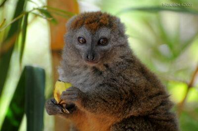 Ma11113-Lemur Maki Złoty (Bambusowy)