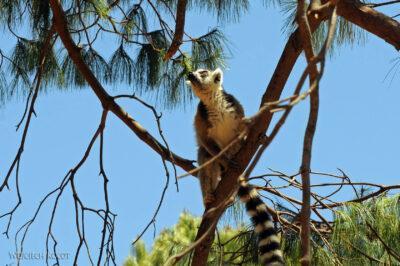 Ma11120-Lemur Kata