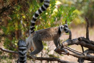 Ma11125-Lemur Kata