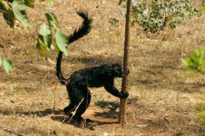 Ma11130-Lemur Czarny