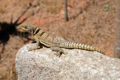 Ma11134-Iguana