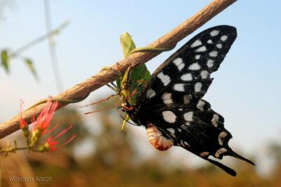 Ma15113-Motyl upolowany przezpająka