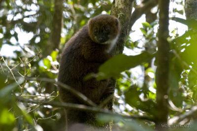 Ma24019-Lemur Sifaka Brązowy