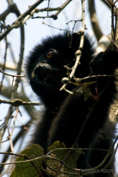 Ma24026-Lemur Sifaka