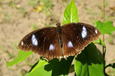 Ma25114-Motyl