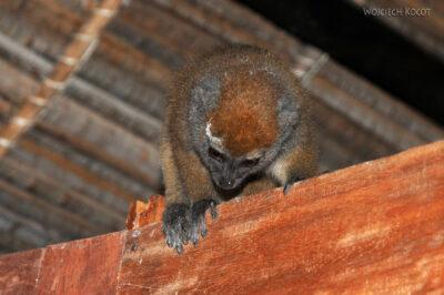 Ma25129-Lemur Bambusowy wdomku