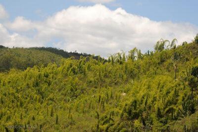 Ma27080-Bambus