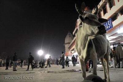 IN02226-Waranasi-krowa nadworcu kolejowym