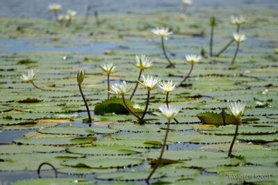 p086-Rejs-lilie wodne