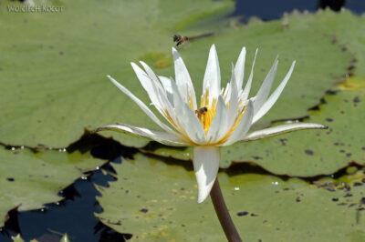 p088-Rejs-lilie wodne