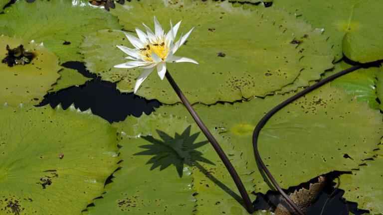 p090-Rejs-lilie wodne