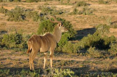 SA15146-Kudu