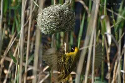 SA15182-Lesser Masked Weaver - Wikłacz Sawannowy