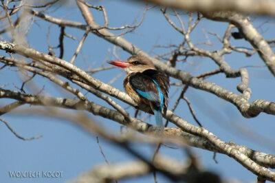 SA15190-Brown-Hooded Kingfisher - Łowiec Brązowogłowy
