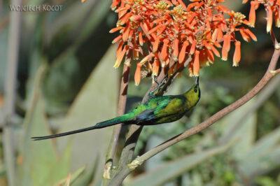 SA15242-Sunbird - Nektarnik