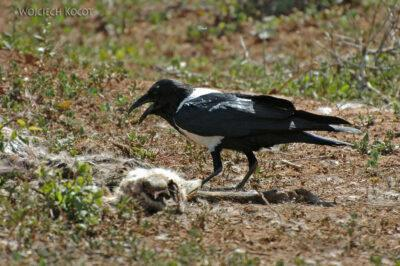 SA15271-Pied Crow - Kruk Srokaty przy padlinie